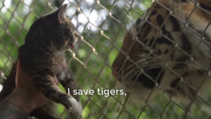 Cats Save Tigers
